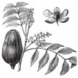Mohagany or Meliaceae. Melia azedarach illustration — Vector de stock #5362881