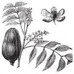 Mohagany or Meliaceae. Melia azedarach illustration — Stock Vector #5362881