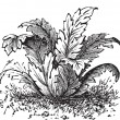 Bear's breeches or Acanthus mollis plant vintage engraving — Stock Vector