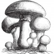 Agaricus campestris or meadow mushroom engraving - 图库矢量图片