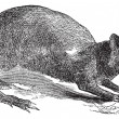 Agouti or Dasyprocta agouti engraving. — Vector de stock