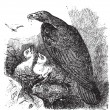 Golden eagle or Aquila chrysaetos vintage engraving, vector. — Vector de stock #5362963