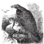 Golden eagle or Aquila chrysaetos vintage engraving, vector. — Stock Vector