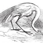 Engraving of a White Heron or egret (Ardea egretta) — Stock Vector