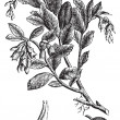 Cowberry or Vaccinium vitis idaea vintage engraving — Vector de stock