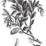 Cowberry or Vaccinium vitis idaea vintage engraving — Stock Vector