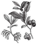 Huckleberry or Gaylussacia resinosa engraving — Stok Vektör