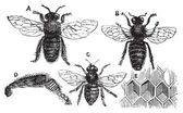 Male, female and neutral bee with leg close-up and honeycomb — Stockvector
