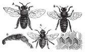 Mannelijke en vrouwelijke bee met been close-up en honingraat — Stockvector
