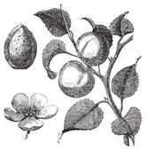 Apricot flower, tree and kernel old engraved illustration — Vecteur