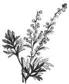 Absinthe plant, Artemisia absinthium or wormwood engraving — Stock Vector