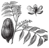 Mohagany or Meliaceae. Melia azedarach illustration — Stock Vector