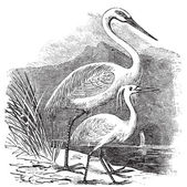 Engraving of a Great Egret (ardea alba) and Little Egret (ardea — Stock Vector