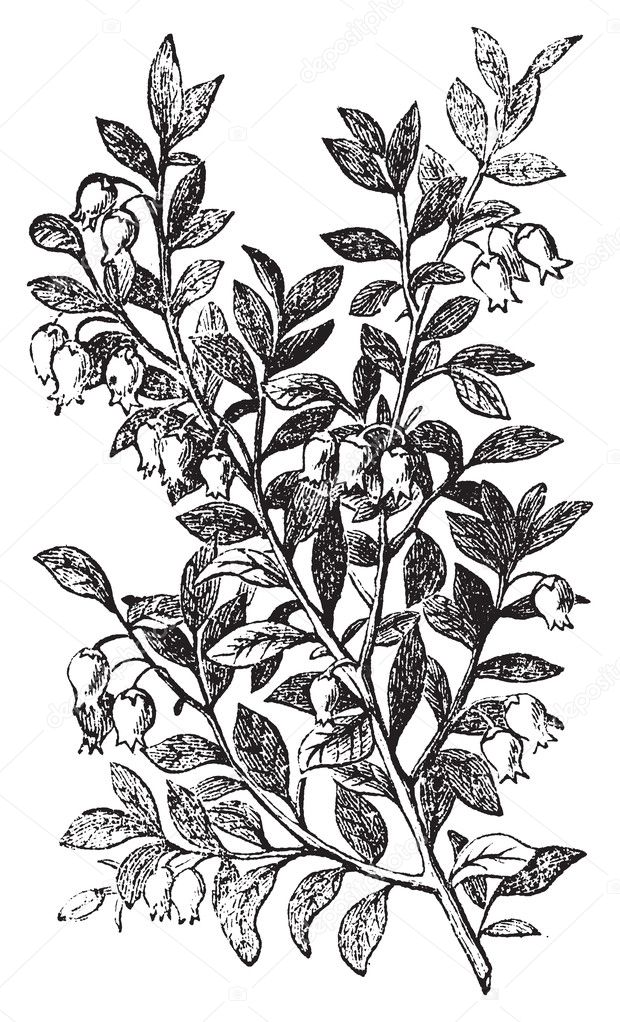 Bilberry, whortleberry or Vaccinium myrtillus engraving. Old vintage illustration of bilberry plant. Vaccinium myrtillus was voted the County flower of Leeds in — Stock Vector #5362776