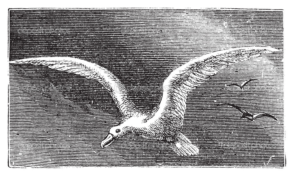 Wandering albastross, Snowy albatross, white-winged albatross or diomedea exulans engraving. Old vintage illustration of flying wandering albastross. — Stock Vector #5362806