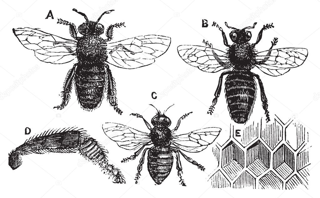 A. Male - B. Female - C. Neutral - D. Rear leg - E. Honeycomb or honey cell. Old vintage illustration from Trousset Encyclopedia 1886 - 1891, live traced vector — Stock Vector #5362835
