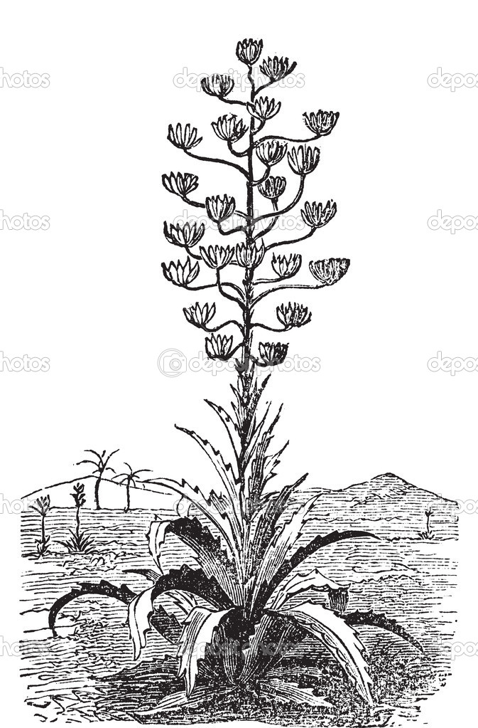 Century plant or Agave Americana old vintage engraving. Engraved illustration vector. Originally from Mexico but cultivated worldwide as an ornamental plant. — Stock Vector #5362933