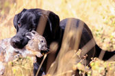 Black lab hunting rabbits — Stock Photo