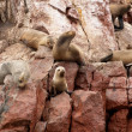 ������, ������: Baby sea lion