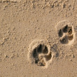 Dog paw prints - Stock Photo
