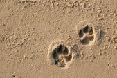 Dog paw prints — Stock Photo