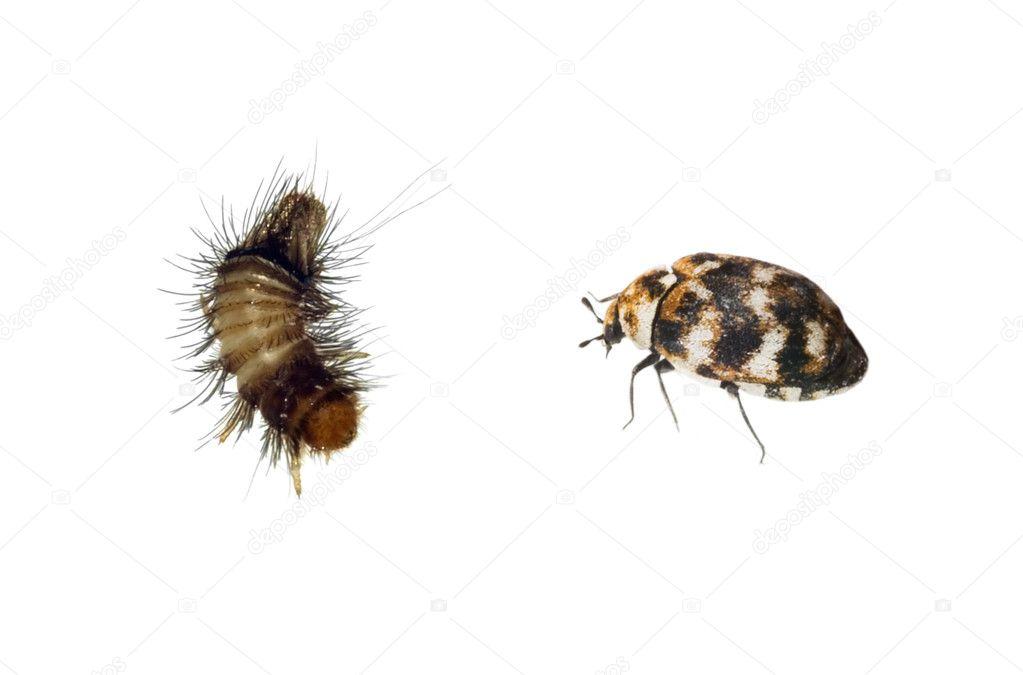 Carpet Beetle And Woolly Bear Stock Photo 169 Digitalg