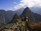 Machu Picchu Lama — Stock Photo