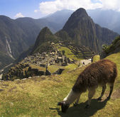 Lama de Machu picchu — Photo