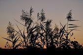 Grasses in the sky — Stock Photo