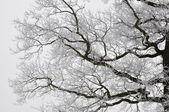 Frosted branches — Stock Photo