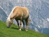 Haflinger horse eating grass — Stock Photo
