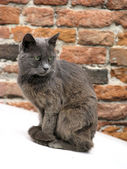 Chat gris — Photo