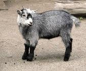 Baby goat — Stock Photo