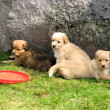 Puppies of golden retriever - Stock Photo