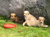 Puppies of golden retriever — Stock Photo
