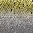 Fish skin and scales - Stock Photo