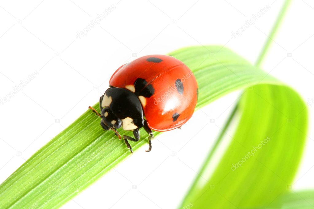 Red ladybug on green grass isolated — Stock Photo #4679455