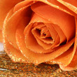 Royalty-Free Stock Photo: Orange rose