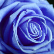 Blue rose — Stock Photo #4817293