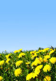 Dandelion green field — Stock Photo