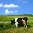 Cow landscape - Stock Photo