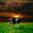 Stock Photo: Cow sunset