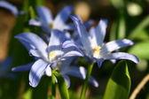 Blue spring flower — Foto de Stock