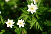 Frühling windflower — Stockfoto