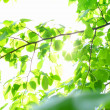 Incredible green leaf foliage — Stockfoto #5257063