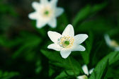 Spring windflower — Stock Photo
