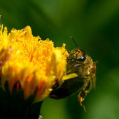 Bee on dandelion — Stock fotografie