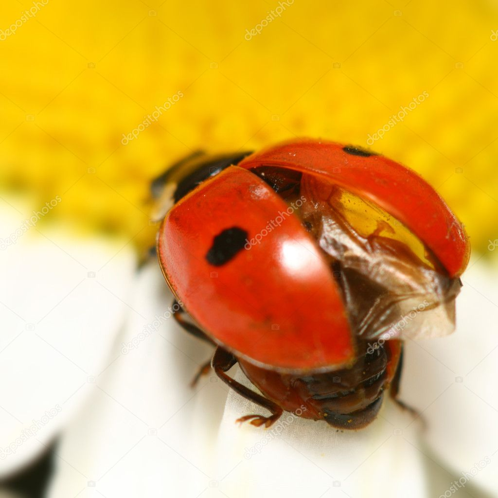 Ladybug on white camomile summer background  Stock Photo #5302179