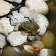 Small Frog prepares to jump on the next  rocks. — Foto Stock