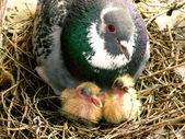 Bovenliggende duif en hatchlings — Stockfoto